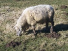 old sheep, altes schaf