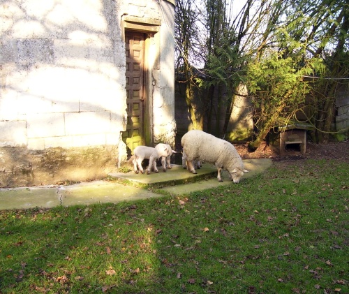 ewe and lambs, mutterschaf und lämmer