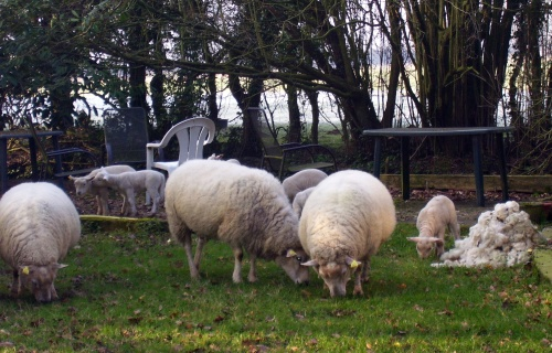 sheep, lambs, schafe, lämmer
