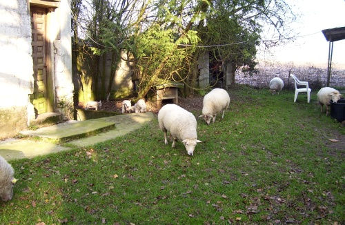 sheep and lambs, schafe und lämmer